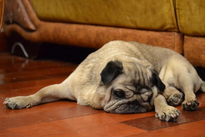 BARF für kranke und allergische Hunde